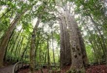 新西兰本土植物贝壳杉Kauri Tree