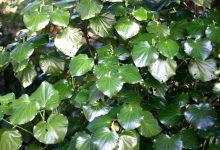 新西兰本土植物卡瓦卡瓦Kawakawa