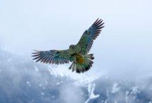 新西兰啄羊鹦鹉Kea