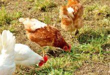 如何在新西兰自家院子中养蛋鸡?