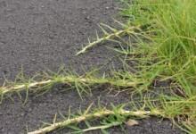 新西兰草坪常见品种Kikuyu