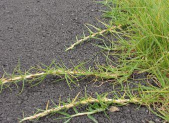 kikuyu-grass