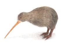 新西兰国鸟几维鸟 Kiwi Bird