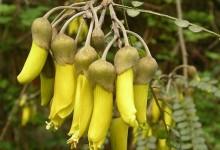 新西兰植物科槐 Kōwhai