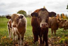 """新西兰畜牧业中的""""轻牛肉"""" Lightweight beef 是什么?"""