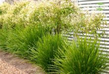 新西兰常见园艺景观植物多须草 Lime Tuff