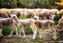 新西兰肉类加工业中对于肉制品的称呼