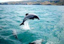 新西兰毛伊海豚Māui Dolphin
