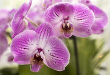 新西兰如何照顾好蝴蝶兰 Moth Orchid?