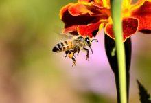 真假麦卢卡蜂蜜大战,新西兰蜂农力战初级产业部