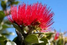 新西兰国花National Flower