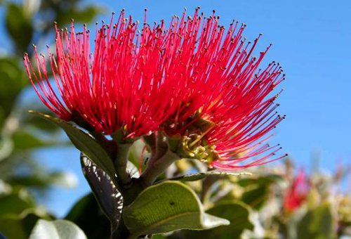 national-flower-puhutukawa