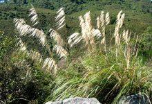 """新西兰本土植物""""托依托依""""草 Toetoe"""