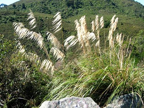 native-grass-toetoe