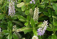 新西兰植物长阶花Hebe