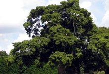 新西兰本土植物桃柘罗汉松 Tōtara