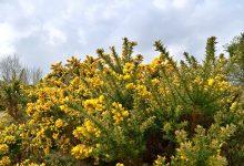 五种不污染环境的方式去除荆豆花 Gorse