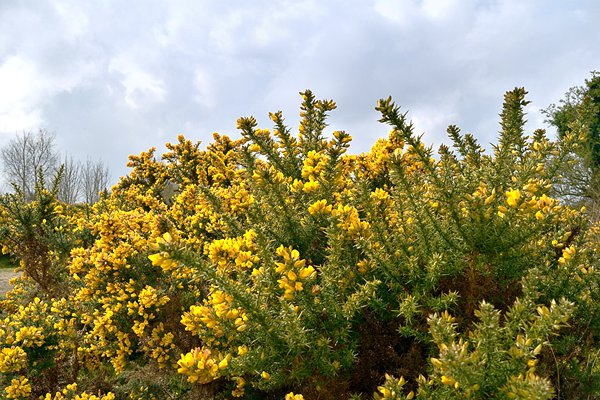 natural-ways-to-get-rid-of-gorse