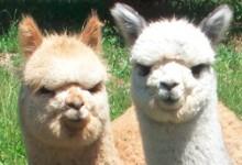 可爱的草泥马新西兰羊驼Alpaca