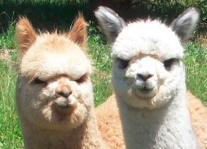 new-zealand-alpaca