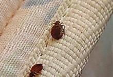 新西兰的臭虫BedBugs