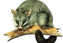 新西兰有害生物负鼠Possum