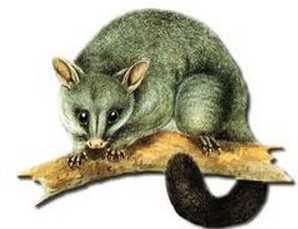 new-zealand-brushtail-possum