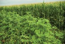 新西兰有害植物三裂叶豚草Ragweed