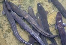 新西兰鳗鱼New Zealand Eels