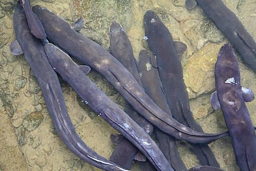 new-zealand-eels