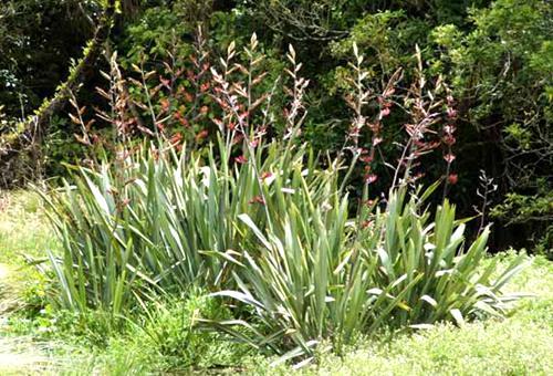 new-zealand-flax