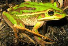 新西兰青蛙
