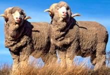 新西兰美丽诺绵羊Merino Sheep