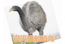 新西兰恐鸟Moa
