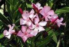 新西兰有毒植物夹竹桃Oleander
