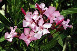 new-zealand-oleander
