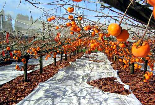 new-zealand-persimmon