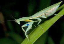 新西兰螳螂 Praying Mantis
