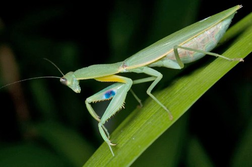 new-zealand-praying-mantis1