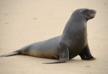 新西兰海狮NZ Sea Lion