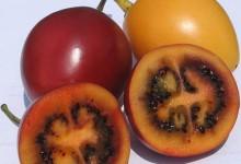 新西兰树番茄 Tamarillo