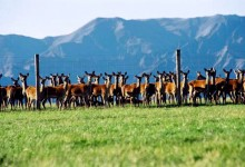 新西兰鹿肉New Zealand Venison