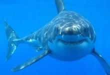 新西兰大白鲨White Sharks