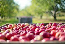 新西兰的苹果产业小知识 apple industry