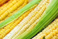 新西兰甜玉米的小知识 Sweet Corn