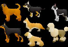 为什么在新西兰选宠物狗不要挑选 Oodle Dog
