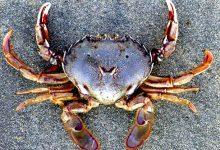 新西兰桨蟹 Paddle Crabs