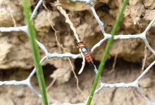新西兰有隐翅虫吗?出现隐翅虫皮炎怎么办?