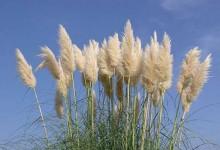 蒲苇Pampas Grass