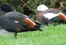 新西兰天堂鸭 Pardise duck